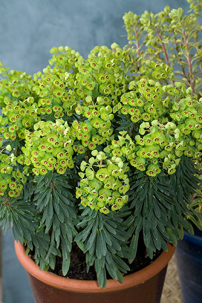 Euphorbia Tiny Tim