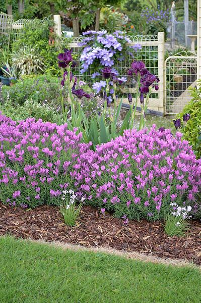 lavandula the princess lavender