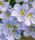 th_p_blue_dove.jpg