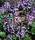 th_p_mona_lavender.jpg