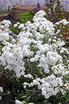 Achillea Angel's Breath