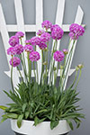 Armeria Big Dreams