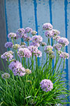 Allium  Pink Pepper