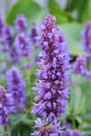 Agastache Royal Scepter