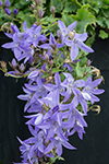 Campanula Blue Waterfall