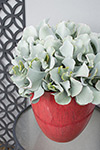Cotyledon Blue Waves