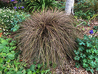 Carex Dusky Fountain