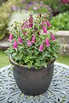 Campanula Rings a Bell Mulberry Rose