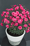 Dianthus Sugar Plum Raspberry
