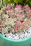 Euphorbia First Blush