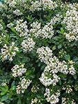 Escallonia White HEDGE WITH AN EDGE®
