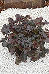 Heuchera  Chocolate Curl