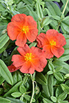 Helianthemum Fire Dragon Sunrose