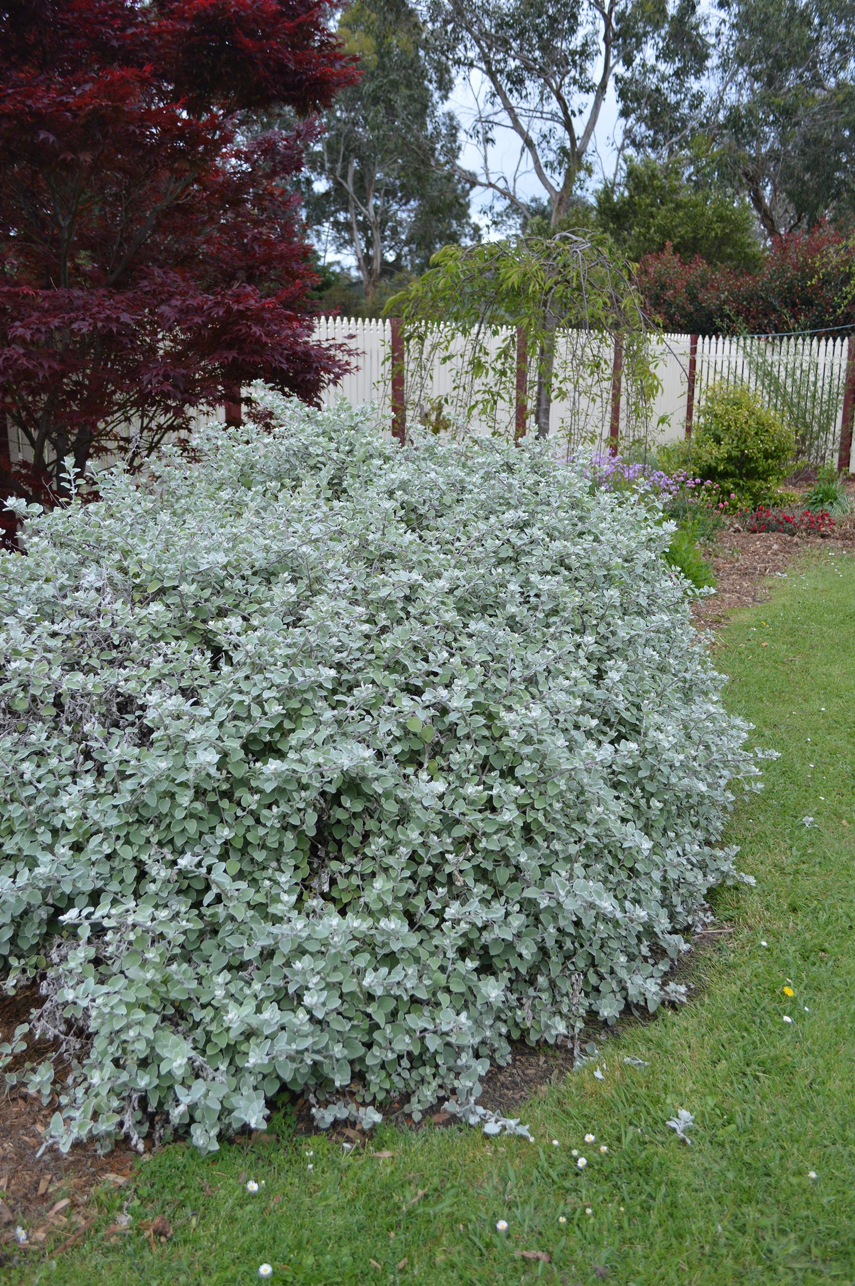Garden Bush: Helichrysum Hi Ho Silver