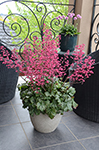 Heuchera Paris