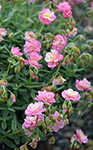 Helianthemum Pink Angel Sunrose