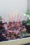 Heucherella Sweet Tea