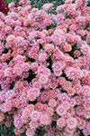 Lampranthus Coral Explosion