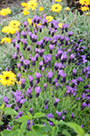 Lavandula Fairy Wings Spellbound