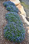 Lithodora Grace Ward