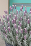 Lavandula Ghostly Princess