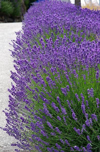 Lavandula Little Poppet