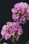 Armeria Bees Lilac