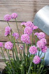 Armeria Bees Pink