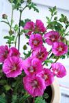 Anisodontea Dryspell Raspberry