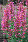 Agastache Salmon and Pink Fiesta