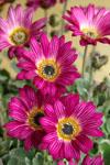 Arctotis Silverdust Pink
