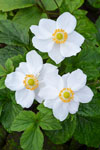 Anemone White Windflower