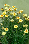 Bracteantha Daisy Fields Gold