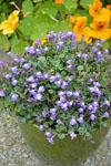 Cymbalaraia Kenilworth Blue