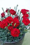 Dianthus Passion