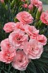Dianthus Romance