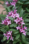 Daphne Spring Pink Eternal Fragrance