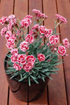 Dianthus Sugar Plum