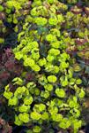 Euphorbia Craigieburn