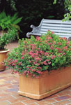 Escallonia Dwarf Pink HEDGE WITH AN EDGE®