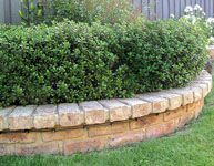 Escallonia HEDGE WITH AN EDGE