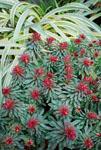 Euphorbia Rudolph