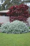 Helichrysum Hi Ho Silver