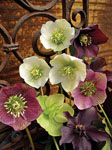 Hellebore Joy Bouquet