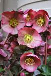 Hellebore Pennys Pink