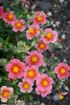 Helianthemum Pink Sunrose