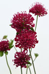 Knautia Egyptian Rose