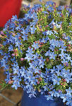 Lithodora Baby Blue