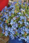 Lithodora Baby Blue