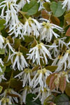 Loropetalum Blonde n Gorgeous